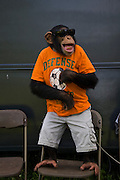 Ricki the chimp takes a moment to appreciate nature through his sunglasses at the Bailiwick Ranch and Discovery Zoo, in Catskill, New York. (Ricki the chimp is featured in the book What I Eat: Around the World in 80 Diets.)  His owners, Pam Rosaire-Zoppe and Roger Zoppe say that he likes fresh fruits and vegetables, and an occasional yogurt drink, far more than packaged monkey chow. (MODEL RELEASED).