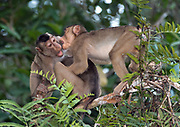 Southern pig-tailes macaque (Macaca nemestrina) fighting in the canopy at Menaggul River, Sabah, Borneo.