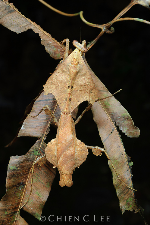 Dead leaf mantis (Deroplatys trigonodera). Sarawak, Malaysia.