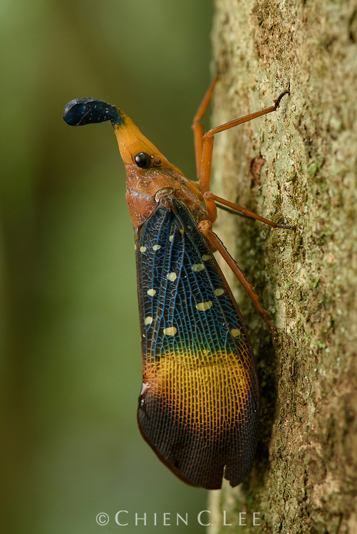 This colorful lantern bug (Pyrops gunjii) is endemic to the lowland rainforests of southeastern Borneo.