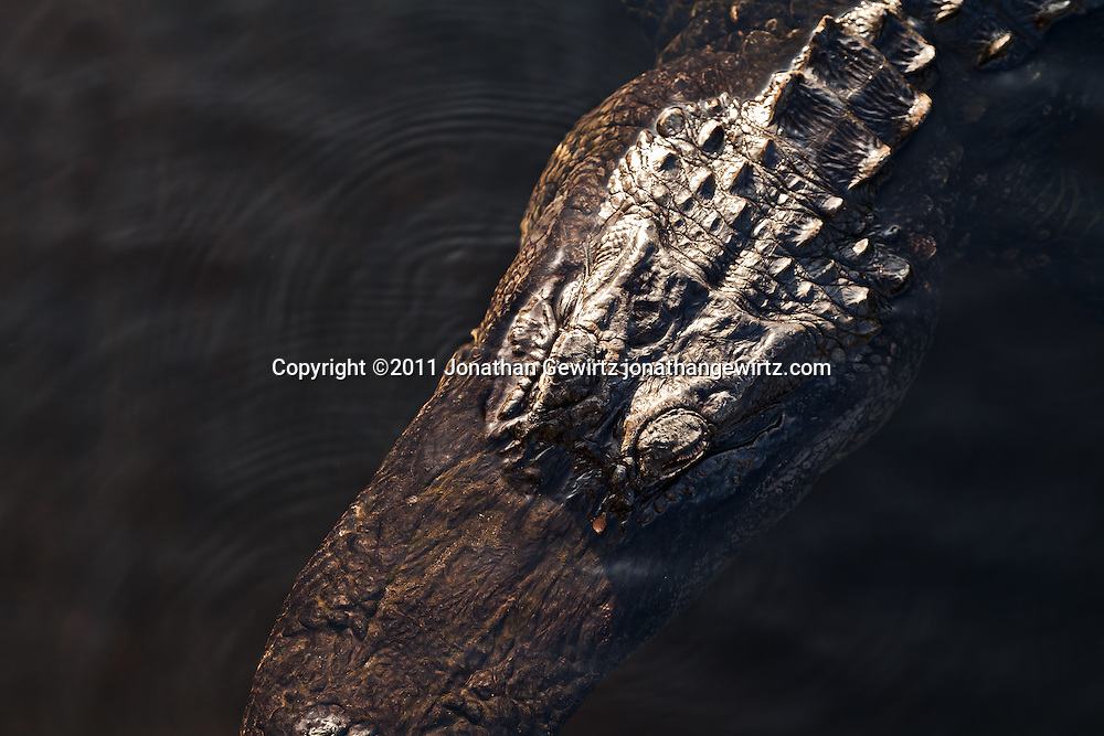 The head and neck of an American alligator (Alligator mississippiensis) as it swims in a canal in Everglades National Park. WATERMARKS WILL NOT APPEAR ON PRINTS OR LICENSED IMAGES.