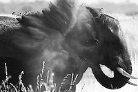 The elephants are complex creatures. One technique used by the elephant for protecting the skin from the burning african sunlight is to cover itself in mud and dust. After a refreshing bath at Selinda Spillway, this bull blows himself with a lot of dust aspirated from the ground with the help of his trunk.