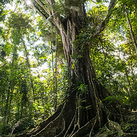 The buttress roots and giant trunk of an old ficus tree in the tropical rainforest near Casual off of the Marañon River. Pacaya Samiria National Reserve, Upper Amazon, Peru.