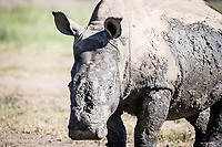 White Rhino survivor with her horns hacked off by poaching, Tugela Private Game Reserve, KwaZulu Natal, South Africa