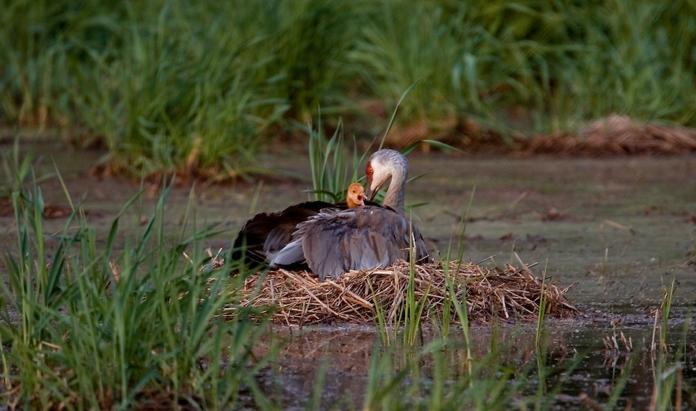 Sandhill Cranes and their two chicks.....
