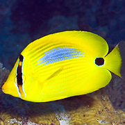 Blue Spot Butterflyfish inhabit reefs. Picture taken Fiji.