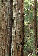 Sun, Redwood Trees, redwoods, big sur, California