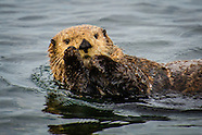 Salish the Sea Otter
