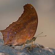 Malayan Assyrian, Terinos clarissa falcata butterfly in Pang Sida National Park, Thailand.