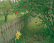"Old wooden fence with flowers at abandoned house in Cat Springs, Texas. NOTE: Click ""Shopping Cart"" icon for available sizes and prices. If a ""Purchase this image"" screen opens, click arrow on it. Doing so does not constitute making a purchase. To purchase, additional steps are required."