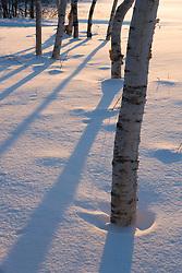 Birch trees at dawn in Quechee, Vermont.
