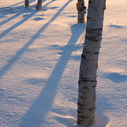 Birch trees at dawn in Quechee, Vermont.
