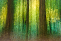 (camera motion abstract) A conifer forest with mixed size trees and  autumn colored vine maple understory grows along the Ohanapecosh River in the Gifford Pinchot National Forest, Washington, USA