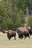 Wildlife: Bison, Bull and Cow