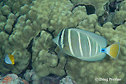 sailfin tang, ringed tang, sail-fin surgeonfish, or maneoneo, Zebrasoma veliferum, and threadfin butterflyfish, Chaetodon auriga, Kahaluu Beach Park, Keauhou, Kona, Hawaii ( Central Pacific Ocean )