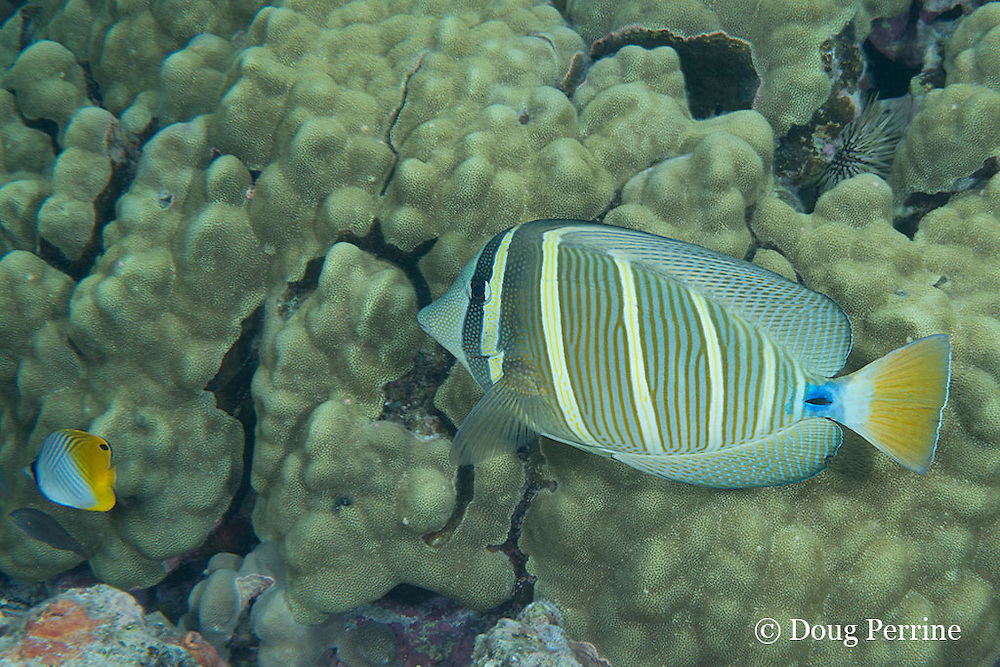 sailfin tang, ringed tang, sail-fin surgeonfish, or maneoneo, Zebrasoma veliferum, and threadfin butterflyfish, Chaetodon auriga, Kahaluu Beach Park, Keauhou, Kona, Hawaii ( Central Pacific Ocean )