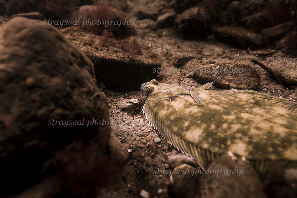 Flounder in Shallow Water Scotland