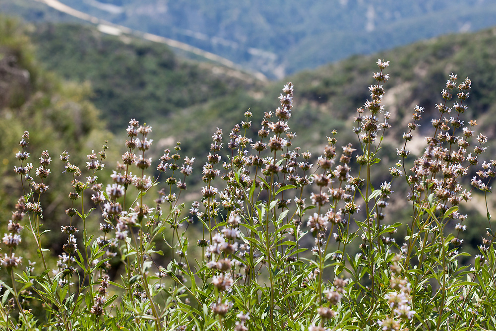 Salvia mellifera (Black sage) at Grizzly Flat, Angeles NF, Los Angeles Co, CA, USA, on 11-Apr-15