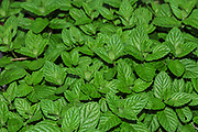 Home grown shrub of mint leaves (Mentha)