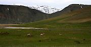 Mountain Sheep - Sprinting away