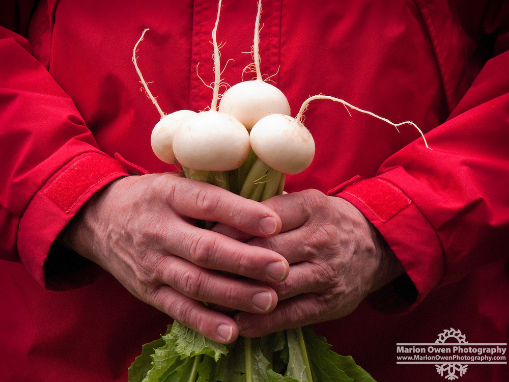 Man's hands holding white Hakurei turnips grown in home garden, Kodiak Island, Alaska