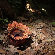 Sapria himalayana is a rare holoparasitic flowering plant related to Rafflesia found in Thailand. Sapria himalayana represents the extreme manifestation of the parasitic mode, being completely dependent on its host plant for water, nutrients and products of photosynthesis which it sucks through a specialised root system called haustoria.