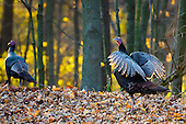 Wild Turkey Editorial and Stock images