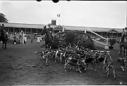 09/08/1962<br /> 08/09/1962<br /> 09 August 1961<br /> RDS Horse Show, Ballsbridge Dublin, Thursday. <br /> Picture shows parade of the Kildare Hunt hounds at the show.