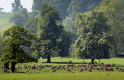 Herd of deer in Windsor, Berkshire, United Kingdom