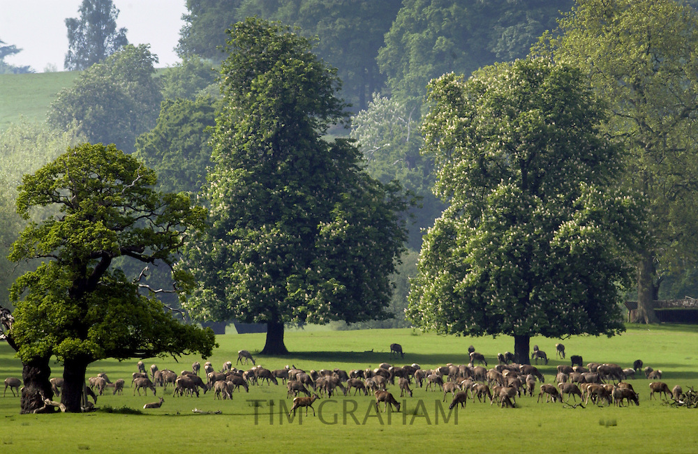 Herd of deer in Windsor, Berkshire, United Kingdom