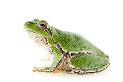 [captive] Sardinian tree frog or Tyrrhenian tree frog (Hyla sarda), Sardinia, Italy   Der Tyrrhenische oder auch Sardische Laubfrosch (Hyla sarda) lebt ausschließlich auf den Mittelmeerinseln Capraia, Île de Cavallo, Elba, Monte Christo, Korsika und Sardinien. Das gesamte Vorkommen des kleinen Froschlurches, der maximal 4 cm Körperlänge erreicht, besteht also aus geografisch isolierten Inselpopulationen.