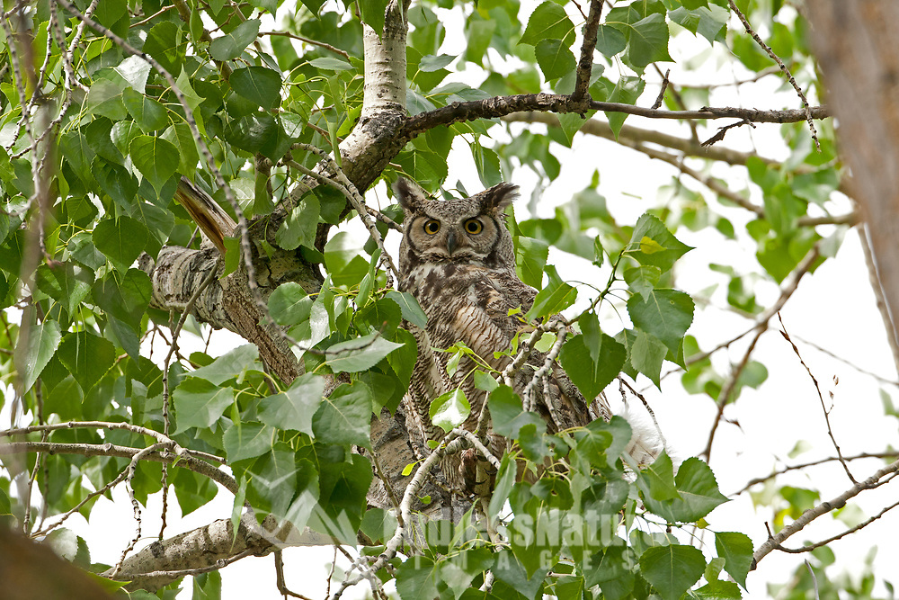 Adult Great Horned Owls can be found almost anywhere in the United States.