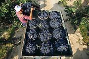 Grape picking near  San Vincente de la Sonsierra for the Remelluri Bodega in Labastida (Alava Province). Rioja, Spain.