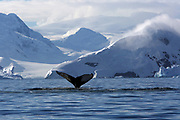 Wilhelmina Bay, Antarctic Peninsula, Antarctica - The tail of a Humpback whale is seen as it dives in Wilhelmina Bay.<br />  &copy;Ann Inger Johansson/zReportage/Exclusivexpix media