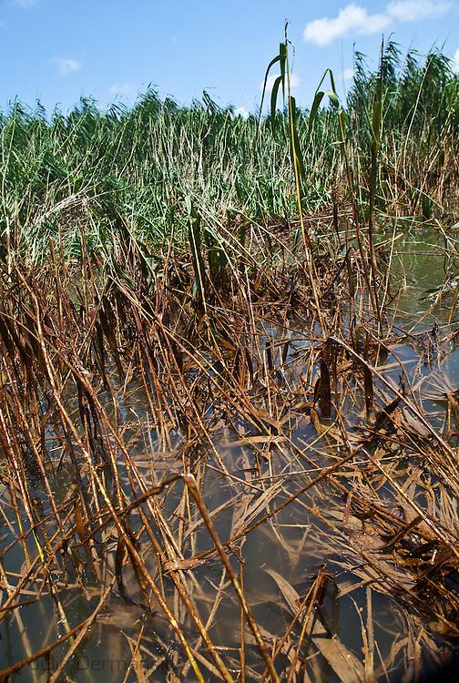 BP oil in the marshland of Jackass Bay in Plaquemines Parish.