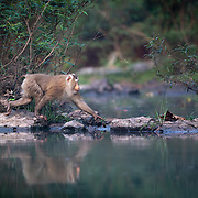 Northern pig-tailed macaque,<br /> Macaca leonina, male  - Khao Yai National Park.<br /> The northern pig-tailed macaque (Macaca leonina) is a species of primate in the family Cercopithecidae.