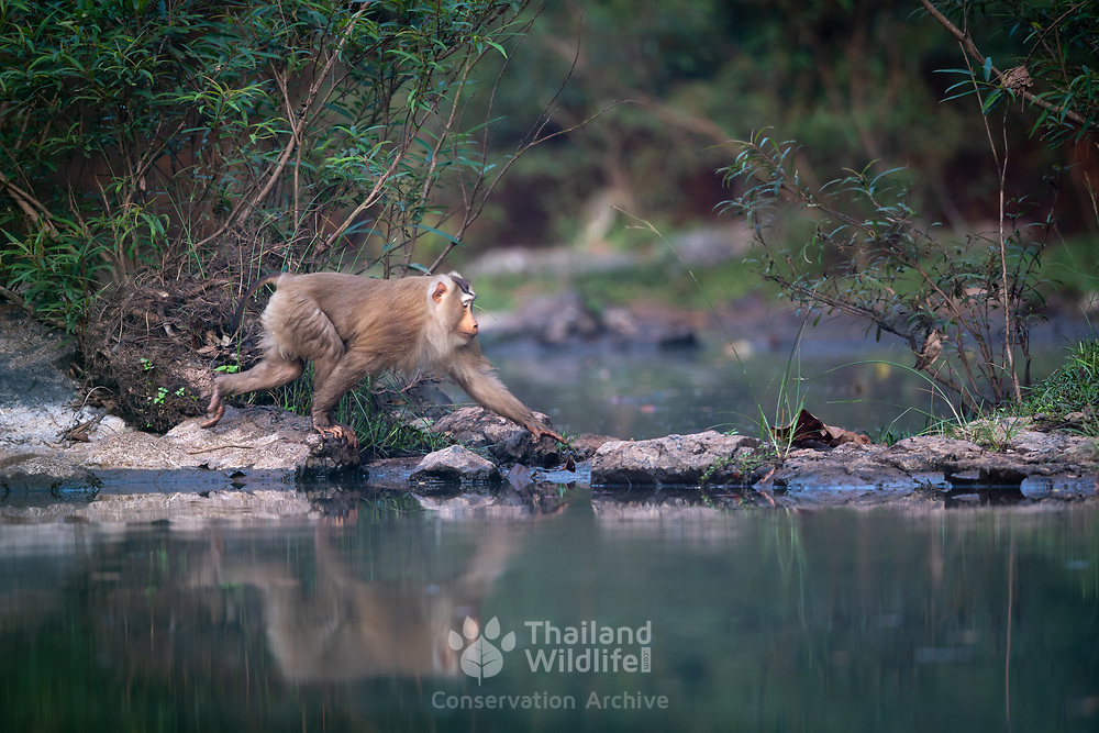 Northern pig-tailed macaque,<br />