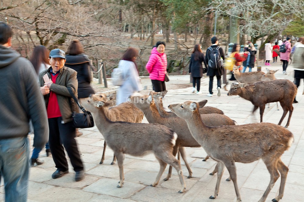 deer with Asian man Nara Japan