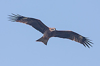 Black Kite photo Japan