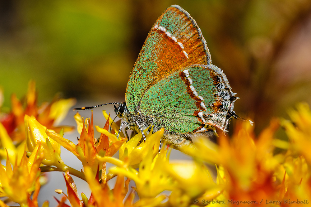 'Siva' Juniper Hairstreak Butterfly [Callophrys gryneus siva]; feeding on Sedum flowers, Fremont County, Colorado
