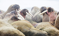 Walrus congregate at a haul out at Kapp Lee.  Edgeoya Island, Svalbard, Norway