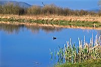An American Coot swimming in a pond in the wetlands of Alamosa National Wildlife Refuge.  San Luis Valley, Colorado.