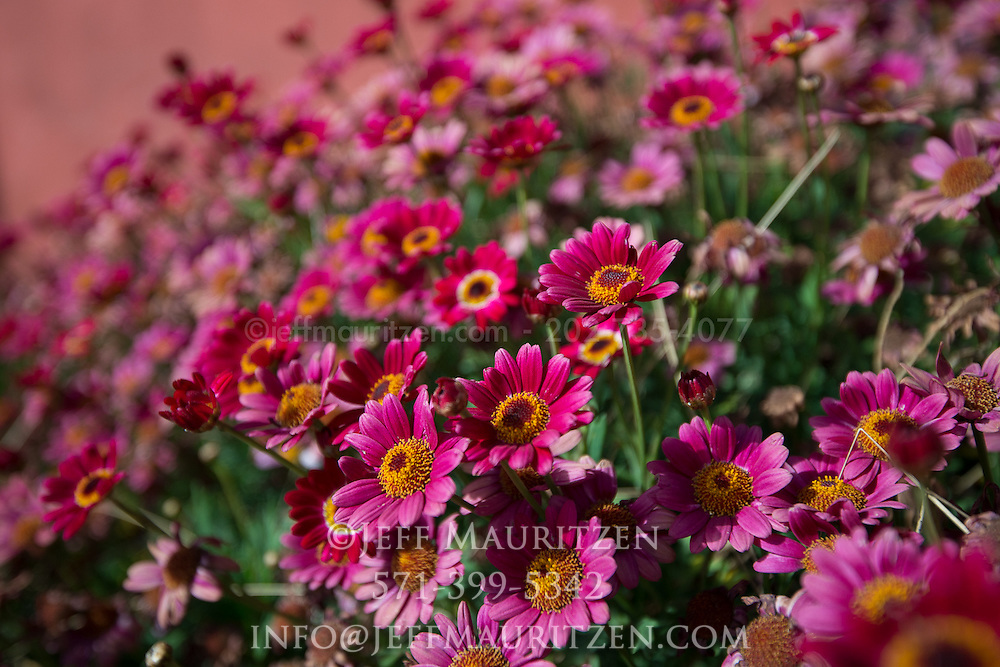 Pink flowers bloom in the high elevations in the Cotopaxi province of Ecuador.