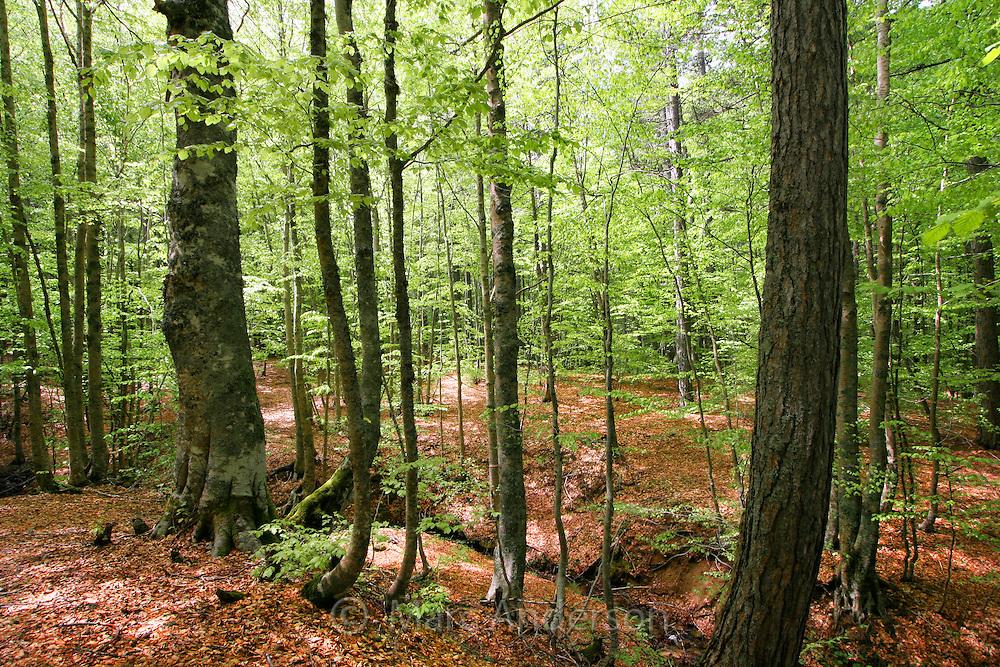 La Sila Forest, Calabria, Italy