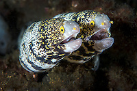 Pair of Snowflake Moray Eels share a hole<br /> <br /> Shot in Indonesia