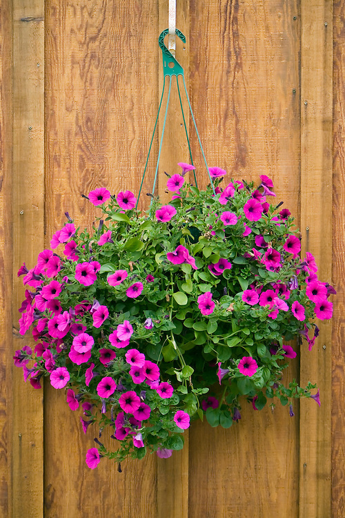 A basket of hanging petunias outside a house in Kake on Kupreanof Island, Alaska in the Southeast.  The long hours of daylight in the Alaska summer make plants grow abundantly. Evening.