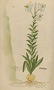 16th century, watercolor, hand painted woodcutting print of a Lilium plant from Leonhart Fuchs book of herbs: De Historia Stirpium Commentarii Insignes Published in Basel in 1542 The original manuscript this image is taken from shows signs of water damage