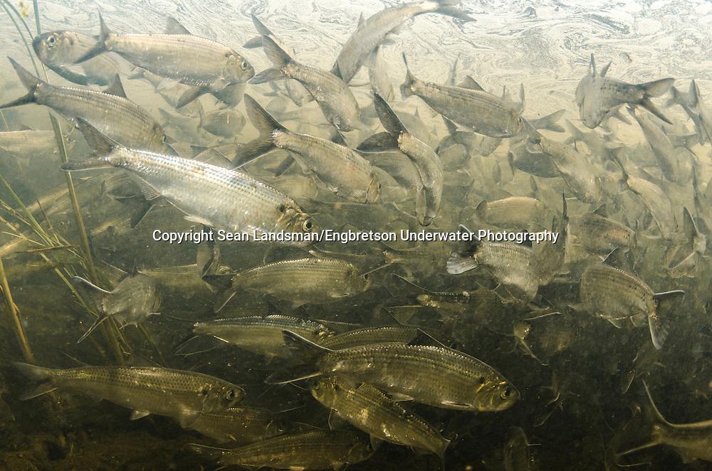 Alewife<br /> <br /> Sean Landsman/Engbretson Underwater Photography