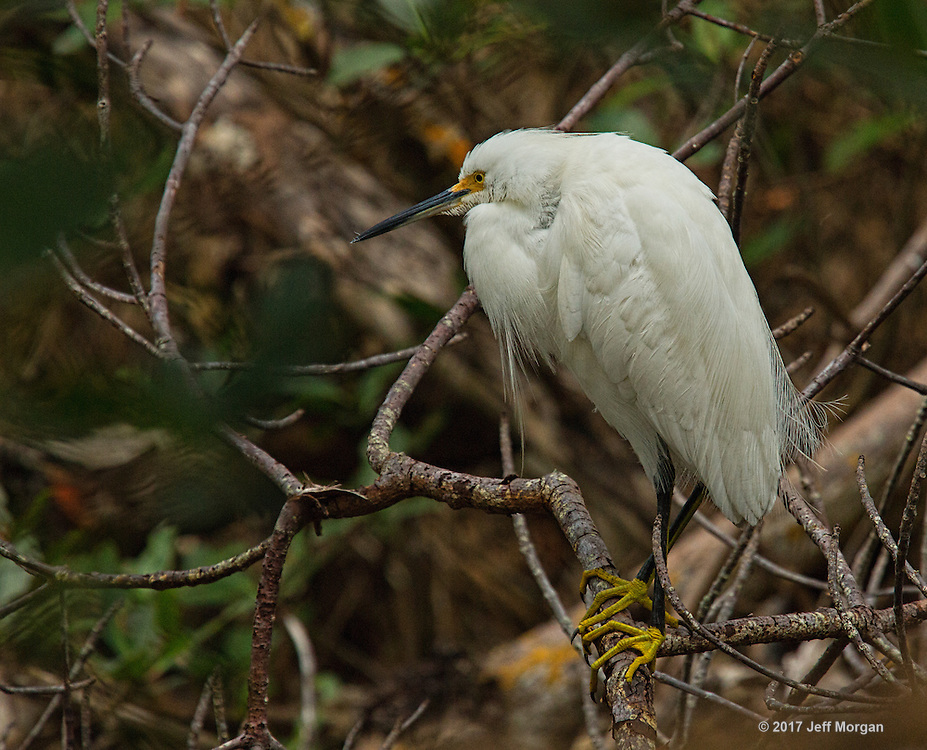 A Snowy Egret with breeding plumage resting in deep cover in a Florida swamp at Ding Darling National Wildlife Refuge.
