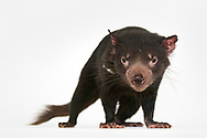 Tasmanian devil, Sarcophilus harrisii, Australian Reptile Park, Somersby, New South Wales, Australia